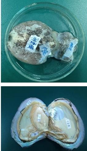 缢蛏揭开部分外套膜结构示意图